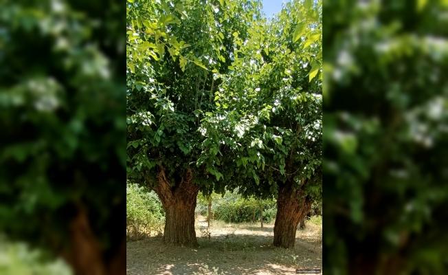 Tarihi Ağaçlar Koruma Altına Alınmayı Bekliyor