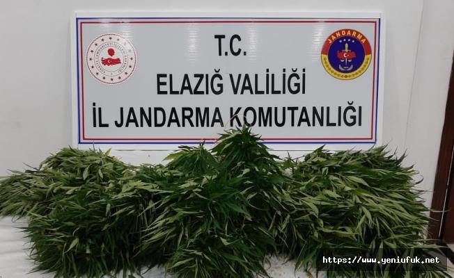 Elazığ'da Jandarma'dan Kenevir Operasyonu
